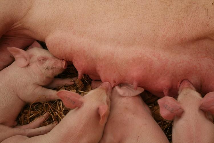 PED-virus huolestuttaa sika-alaa maailmanlaajuisesti