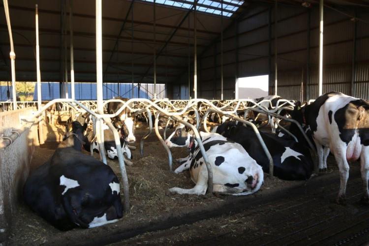 FarmTest: Lietteestä separoitu kuitu on käypä kuivike