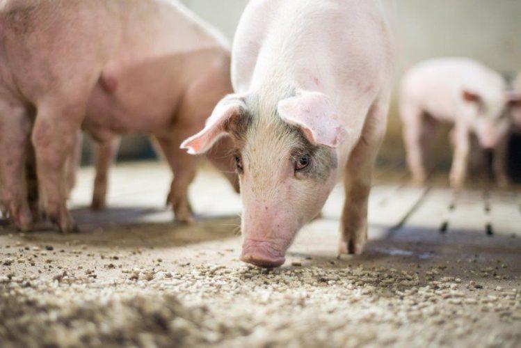 Oikea aminohappomäärä kasvattaa sikaa, mutta säästää ympäristöä