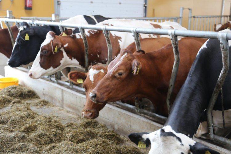 Kolmirotuinen lehmä kiinnostaa isojen karjojen omistajia maailmalla