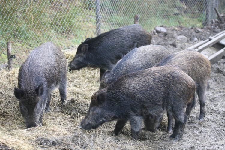 Afrikkalainen sikarutto sekoittaa sianlihamarkkinoita