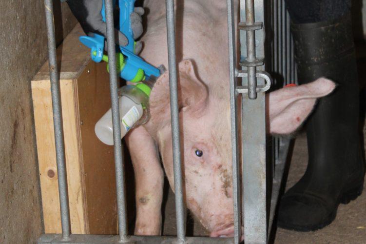 Ollikkalan sikatilalla otettiin käyttöön karjuporsaiden immunokastraatio