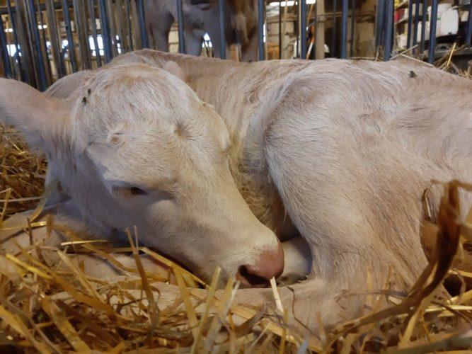 Riittävä lepo ja uni turvaavat vasikoiden kasvua ja kehitystä