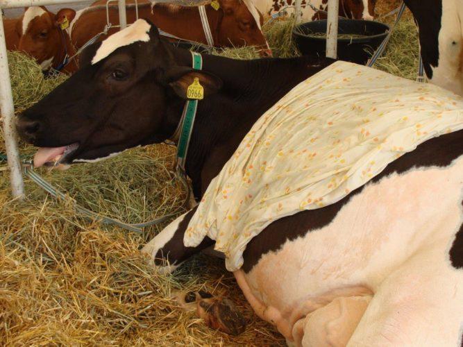 Helle rasittaa lehmää ja kannattavuutta