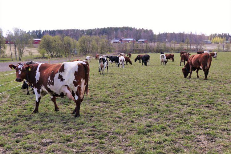 Vapaan lehmän maitoa on moneksi