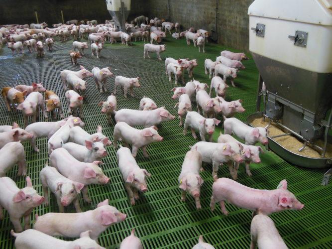Espanja on kasvamassa Euroopan suurimmaksi sikamaaksi