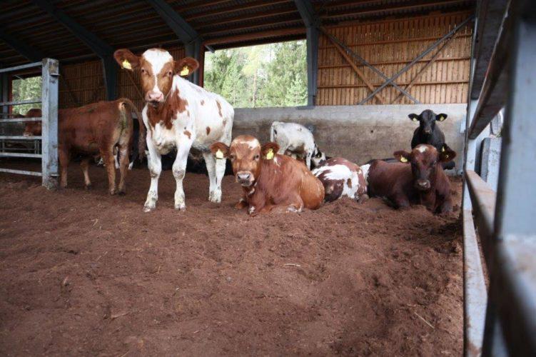 Turvealan muutokset näkyvät kotieläintiloilla Kuivikevaihtoehtojen etsiminen käynnissä
