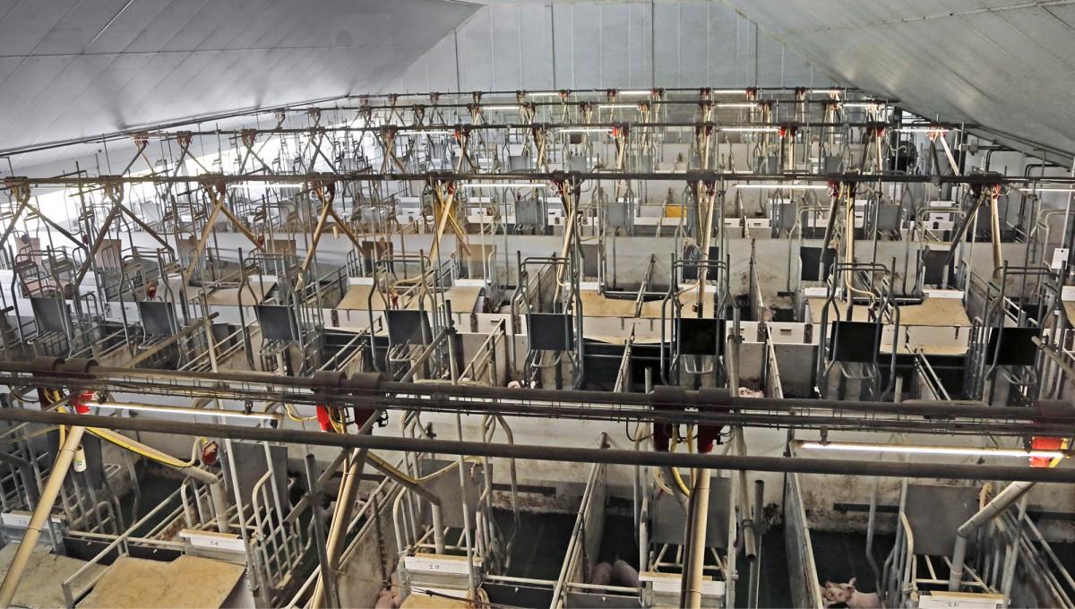 Vapaa porsitus, viisto korkea katto, joka antaa paljon ilmatilaa ja porsaiden jättäminen porsituskarsinaan vieroituksen jälkeen ovat Hoeve de Hulsdonk -tilan ratkaisuja, joilla isäntä pyrkii parantamaan sikojen terveyttä ja hyvinvointia porsitusosastolla.