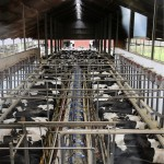 Lehmien lypsyä voi katsella lasin läpi huoneesta yläpuolelta. 2 x 20 keskiasennusasemalla ehtii hyvin lypsää 500-päisen karjan kolme kertaa päivässä. Keskimääräinen päivätuotos on noin 35 litraa.