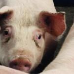 Sian silmänalusten mustuminen stressin yhteydessä on todettu jo muutamissa tieteellisissä tutkimuksissa. Ilmiö on tuttu myös monelle sikojen hoitajalle.