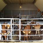 Uusi erä sonnivasikoita tulee juottoon 1,5 kuukauden välein. Eläimet ovat enimmäkseen maitorotua, ja eläinlääkäri käy nupouttamassa ne juottamossa. Juottoautomaatit ovat ylätasanteella, johon vasikat kiipeävät ketterästi portaita pitkin. Tunnistimet kaulassa tallentavat juottotiedot, jolloin koneelta näkee heti, ketkä juovat ja ketkä jättävät juomatta.