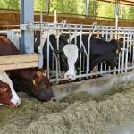 Pihaton molemmissa osissa on keskellä sairas- ja hoitokarsina, johon sonnit voidaan ottaa päästään kiinni lukittaviin etuaitoihin. Muualla ruokintapöydän esteenä on järeä puinen niskapuomi. Karsinarakenteet ovat Ransucon.